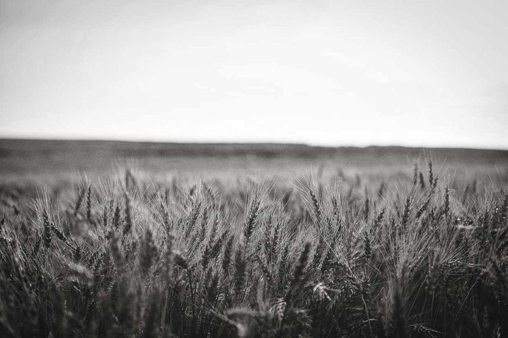 Wheat Black and White | Calgary Landscape Photographer | SLIVER Photography