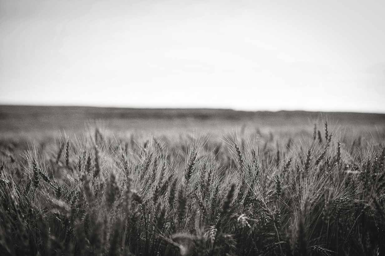 Wheat Black and White | Calgary Landscape Photographer | SLIVER Photography