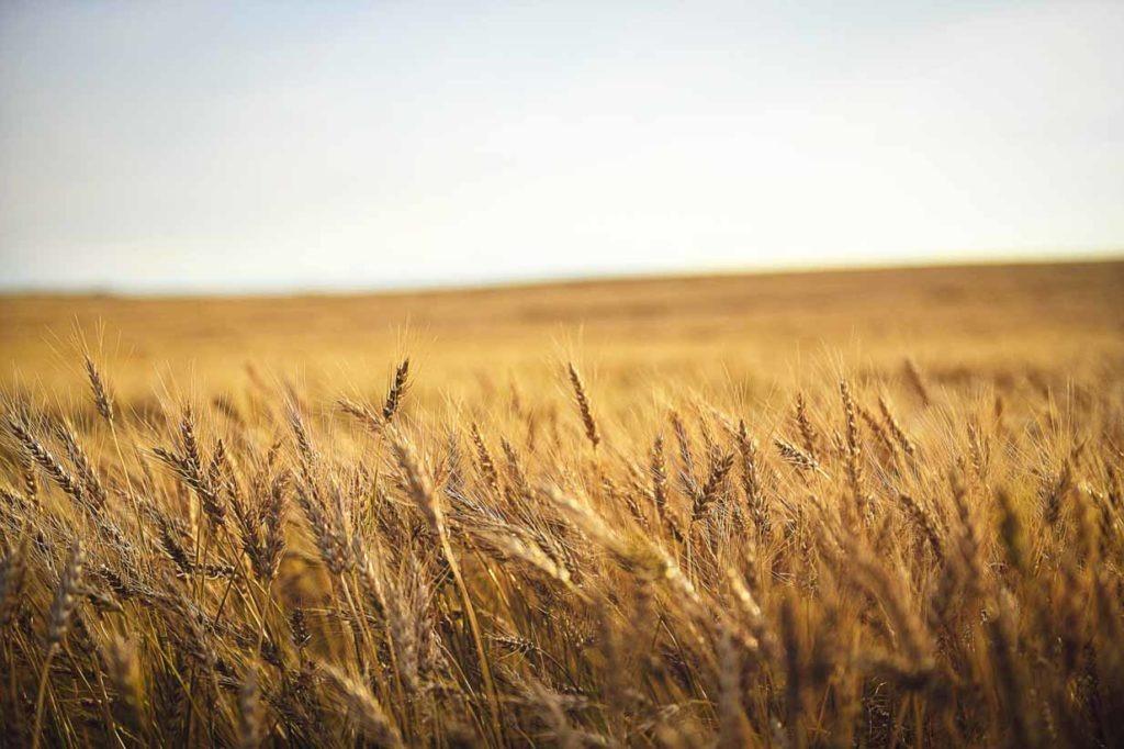 Wheat | Calgary Landscape Photographer | SLIVER Photography
